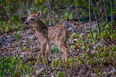 FOY2016_Fawn (jmishefske) Tags: park nature wisconsin franklin nikon wildlife may center deer fawn milwaukee buck whitetail wehr 2016 whitnall d800e