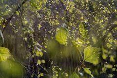 Multiple Nature 332 (pni) Tags: light suomi finland leaf helsinki branch multipleexposure birch helsingfors tlnlahti tripleexposure multiexposure skrubu pni tlviken pekkanikrus