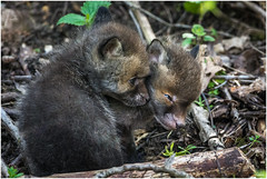 Fox cubs (pstani) Tags: uk england animal cub fox cambridgeshire redfox vulpesvulpes foxcub paxtonpits littlepaxton