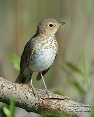 Swainson's Thrush (Brian Lasenby) Tags: spring composition color season northamerica nature thrush vertical verticalcomposition brown environment behaviour animal forest trees plant grandbend wildlife catharusustulatus green perch bird swainsonsthrush ontario canada unitedstates lambtonshores places spots
