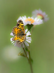 Inconspicuous Beauty (johanhakanssonphotography) Tags: flowers macro nature beauty butterfly print outdoors photography spring nikon wildlife canvas telephoto bloom blueridgemountains blueridgeparkway pearlcrescent westernnorthcarolina phyciodescocyta southernappalachians johanhakanssonphotography