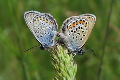 +IMG_9281 Prz ezsts boglrkk (Plebejus argus)_cr (NagySandor.EU) Tags: mating plebejusargus przs boglrkalepke ezstsboglrka boglrkalepkeflk
