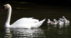 Nine 3 Day Old Cygnets (Mukumbura) Tags: birds swan wildlife nine cygnets