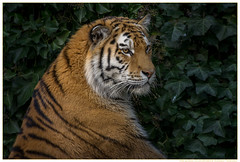 Mal-gucken---Zoo-Duisburg-20160401 (gosammy1971) Tags: orange white black nature animal animals cat germany fur deutschland photography zoo tiere feline flickr foto tiger natur katze predator tierpark duisburg dnemark weiss dasha tigris tigre fell schwarz nordrheinwestfalen odense tier streifen pantheratigrisaltaica amurtiger pelz dierenpark panthera carnivora sibirischertiger felidae siberiano northrhinewestfalia zooduisburg pelzig raubtiere altaica tigri sibirischer fellnase artenschutz groskatze ussuritiger iucnendangered prdator praedatio sibiarian