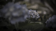 Hazy feeling (keita.asakura) Tags: blue flower nature japan sadness mood sad emotion bokeh hydrangea  hazy feelings naturephotography