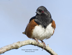 MALE EASTERN TOWHEE 1197-082 (HARRIS BROWN 427) Tags: ngc npc