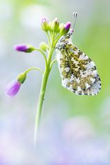 Aurorafalter (Anthocharis cardamines) (MichaSauer) Tags: macro female butterfly papillon aurora makro iso1600 schmetterling aurore f63 weibchen orangetip aurorafalter 150mm pieridae 160s tagfalter weisling