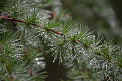 Rainy Day (mitchell_dawn) Tags: tree green water rain pine wales forest silver droplets branch rainy needles 2016 springwatch cwmcarn