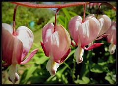 schon ganz blass !!! (karin_b1966) Tags: plant flower nature garden blossom natur pflanze blume blte garten 2016 trnendesherz yourbestoftoday