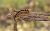 PGC_2179-20151005 (C&P_Pics) Tags: butterfly southafrica places capetown za westerncape insectsandspiders southafrica2015