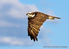 Sunnier Days (Gary Grossman) Tags: bird clouds freedom flying spring flight free raptor pacificnorthwest osprey birdofprey birdinflight garygrossmanphotography shotsofawe