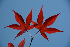 Japanese maple (hogtown_blues) Tags: red leaves experiment japanesemaple