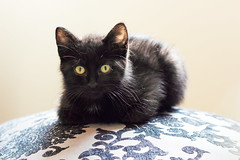 Black cats galore (Renee W. Atlas) Tags: rescue pet baby pets black cute green love halloween beautiful cat eyes kitten chat noir kitty meow friday 13 13th vokra