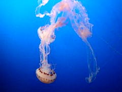 "Purple-Striped Jelly (""Chrysaora Colorata""), Monterey Bay Aquarium, Monterey, California, USA (jimg944) Tags: california aquarium mba monterey jellies jellyfish montereybayaquarium montereybay mbari purplestripedjelly chrysaoracolorata"