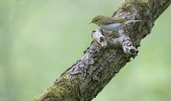 Wood Warbler (lord wardlaw) Tags: wildlife sony sigma worcestershire woodwarbler wyreforest