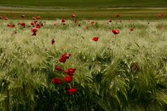BAILANDO SOBRE UN MAR DE ESPIGAS (marthinotf) Tags: naturaleza valladolid cereales castilla amapolas camposdecastilla trigoverde mieses elvientoespigas