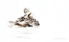 Poedeltijd / Time to splash (roelivtil) Tags: highkey duck plumage verenkleed eend