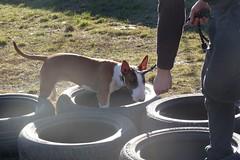 Come on (DanielOssino_EducatoreCinofilo) Tags: cane cani dog dogs bull terrier bullterrier mia pneumatico gomme tire tyre search cerca cercare tosearch together insieme game gioco playgame play giocare