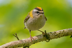 JWL8069  Firecrest..... (jefflack Wildlife&Nature) Tags: nature birds animal forest countryside woodlands wildlife avian warbler songbirds wildbirds warblers firecrest