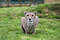 WHF: Bajrami, Martin, Keene (Cheetah) (Jasmine'sCamera) Tags: wildlifeheritagefoundation whf bigcats bigcat cheetah
