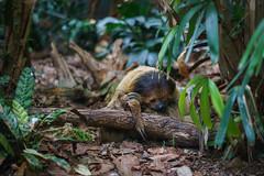 Sloth  Faultier (ninfaj) Tags: nature animal animals zeiss zoo schweiz switzerland tiere sony natur zoozrich sonyalpha7ii