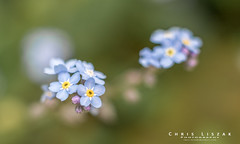 Macro Bokeh (Chris Liszak Photography) Tags: flowers plants plant flower color colour wow photo spring bokeh sharp stunning bloom inbloom nikond3200 flickrdiamond chrisliszakphotography