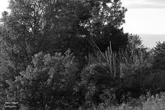 Arbres (Denis Hbert) Tags: trees shadow summer blackandwhite bw white canada black monochrome rural blackwhite noir shadows noiretblanc quebec country ngc august nb ombre arbres qubec t campagne extrieur arbre blanc montrgie shadowy richelieu vgtation 2015 ombrage newtopographics aot newtopographic newtopographer summer2015 denishbert anthropogeo t2015