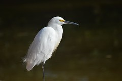 Egret (mara.arantes) Tags: portrait naturaleza bird nature animal digital nikon natureza serene aquatic egret d3200