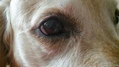Goldi's eye (umitremziergun) Tags: dog pet pets eye animal golden g4 lg beat hayvan evcil