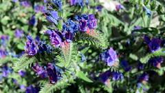Viprine faux plantain (bernard.bonifassi) Tags: bb088 06 alpesmaritimes 2016 thiery counteadenissa viperine fleur plante