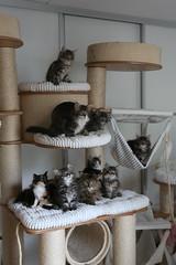 Bunch of happy kittens on RUFI cat tree (Titran's Norsk Skogkatt) Tags: titran nfo rufi titrans