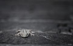 I see you (Ricardo Alguacil) Tags: naturaleza animal canon eos italia rimini 7d ricardo gecko animale geco rettile 2470 alguacil ricardoalguacil