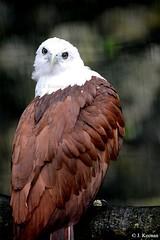 Brahminy Kite - Haliastur indus (HGHjim) Tags: kite eagle indus seaeagle redbacked brahminykite haliasturindus haliastur brahminy redbackedseaeagle