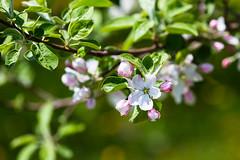 Fleur printanire 2 (alex.bernard) Tags: fleurs flower flowering pommier appletree nature outdoor spring printemps montsainthilaire qubec montral canon sigma sigma70200mm 70200mm
