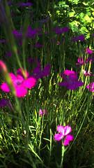 92 (jurinkof) Tags: fleurs blüten 花卉 цветы kvety květy