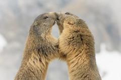 The kiss (marypink) Tags: piemonte marmot mammalia rodentia marmota marmotte sciuridae parconazionalegranparadiso ceresolereale marmotini valleorco xerinae nikkor80400mmf4556 nikond7200