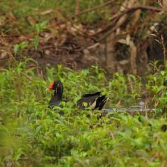 Gallinula tenebrosa (Diana Padrn) Tags: bird birds ave aves australia victoria cussen park nature wildlife naturaleza humedal humedales dusky moorhen gallineta enlutada gallinula tenebrosa