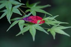 Red Leaf Resting on Green Maple Leaves (KellarW) Tags: red greenleaves green japan maple kyoto mapletree resting redleaf greenleaf greenmaple restingleaf 5dmkiii 5dmarkiii canon100mmf28l canon5diii 5diii