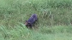 wild hog (im2fast4u2c) Tags: wild summer grass texas balck hog boar