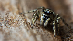 Zebra spider pedipalps (Andyfrog321) Tags: hairy macro cute nature bug spider jumping bokeh small 100mm tiny zebra 28l smallcreature salticus scenicus salticidae