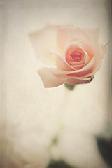 It's delicate ! (S.A.photos) Tags: pink blur flower texture nature fleur beauty june rose soft exposure dof blossom bokeh pastel ngc depthoffield serene nikkor d3200
