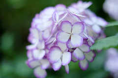 Purple and white (sonica@2006) Tags: white beautiful japan for this fuji purple time bokeh good live want thank luck fujifilm hydrangea fujinon xm1 i xf35mm