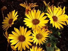 Yellow flowers (STEHOUWER AND RECIO) Tags: flowers plant green nature netherlands floral leaves yellow flora daisy bloemen