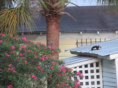 Caroline Avenue (march61) Tags: city summer tree cat square palm blooms washigton azaelea