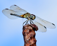 This Dragon has fangs.... (all one thing) Tags: nature insect wings dragonfly fangs odonata pachydiplaxlongipennis bluedasherdragonfly dragonshavefangs thisdragonhasfangs