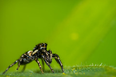 Revelation.. (Le Gerbignol) Tags: macro grass closeup garden spider jumping jumpingspider araigne salticidae salticide sauteuse