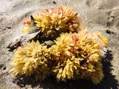 IMG_0201 (Tina A Thompson) Tags: sonora seashells mexico sealife seashell marinebiology tidepools seaofcortez marinelife chollabay mexicobeaches chollabaymexico