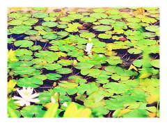 Hidden Royalty (Silke Klimesch) Tags: white berlin green yellow jaune deutschland pond waterlily princess prince vert frog gelb jardimbotnico prncipe grn princesa rana teich frosch botanicalgarden blanc enchanted grenouille encantada lilypond princesse tang prinz jardnbotnico bewitched dahlem jardinbotanique principe seerose r nenfar aba botanischergarten encantado stagno cocha weis principessa seerosenteich prinzessin nympha sadzawka giardinobotanico lriodgua ranocchio attinia verzaubert ksiniczka liliawodna ensorcele lagopequeno zaczarowany ensorcel ksi ammaliato ammaliata