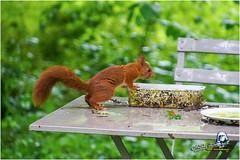 "Ecureuil du jardin ""2016"" (Christian Labeaune) Tags: 2016 faune poils christianlabeaune chtillonnais jardin cureuil chatillonsurseine21400 bourgognectedor france"