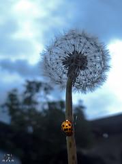 Marienkfer -Pusteblume (Josef17) Tags: marienkfer lwenzahn pusteblumen